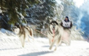 Winter Sled Dog Racing Musher